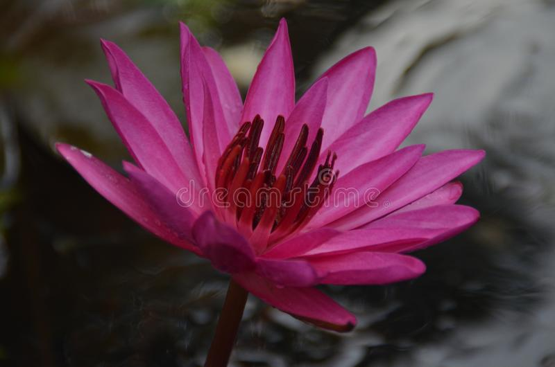 Nymphaea nouchali -Red - water lily- Manel flower royalty free stock photo