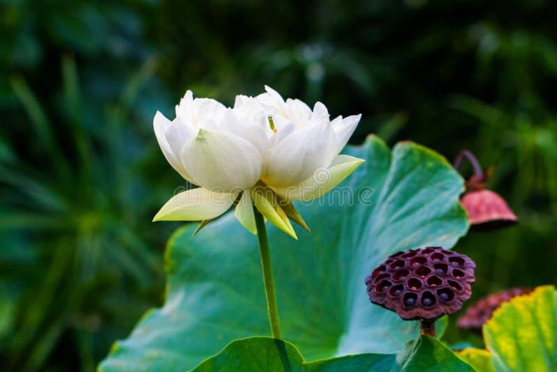 Nymphaea nouchali Wildwasserlilie stockfotos