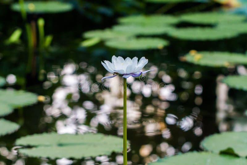 Nymphaea nouchali Wildwasserlilie stockbilder
