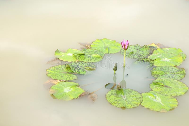 Nymphaea pączek z liścia wzorem wokoło na tle i w stawie fotografia stock