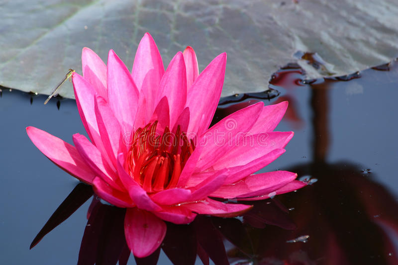 Nymphaea pubescens Willclenow. No.2 stockfotos