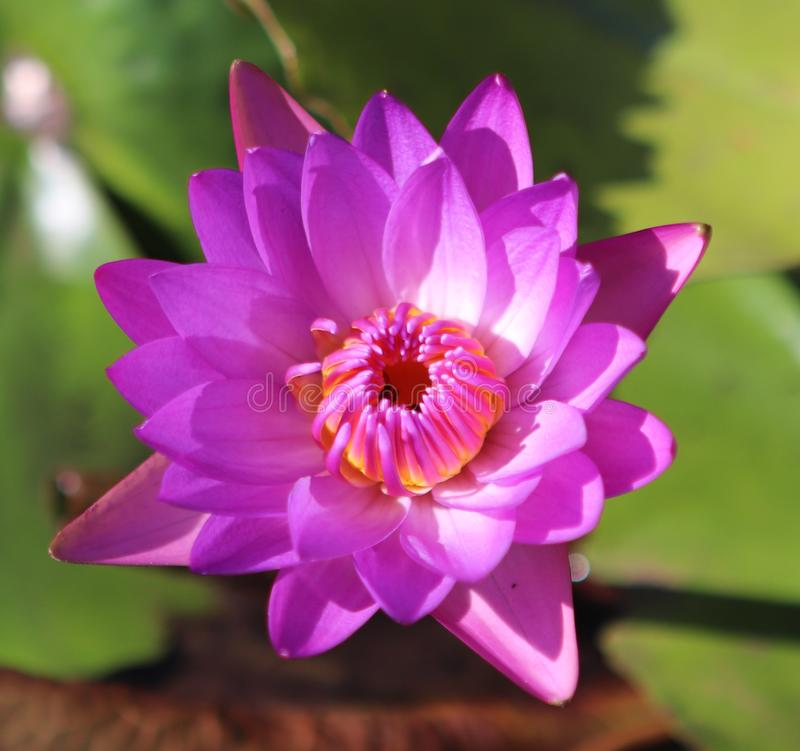 NYMPHAEA ROSA SUMMER JANUARY BRAZIL royalty free stock photos