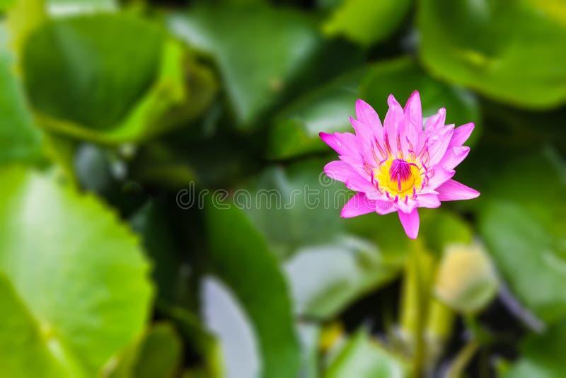Nymphaea stellata Dzika, wodna leluja lub jesteśmy nadwodnym rośliną a zdjęcie royalty free