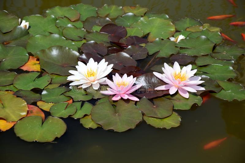 Nymphaea Waterlilies in the Pond with Red Fishes Around stock image