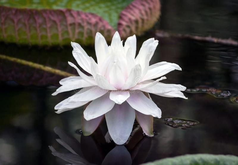 Nymphaea white terry large lotus with a light lilac shade from the middle. Of the flower grows in the garden in the water, dark water, in the background a large royalty free stock images