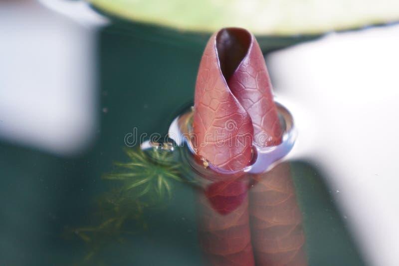 Nymphaeaceae courbé de feuille de nénuphar dans la fin d'étang vers le haut du macro photos stock