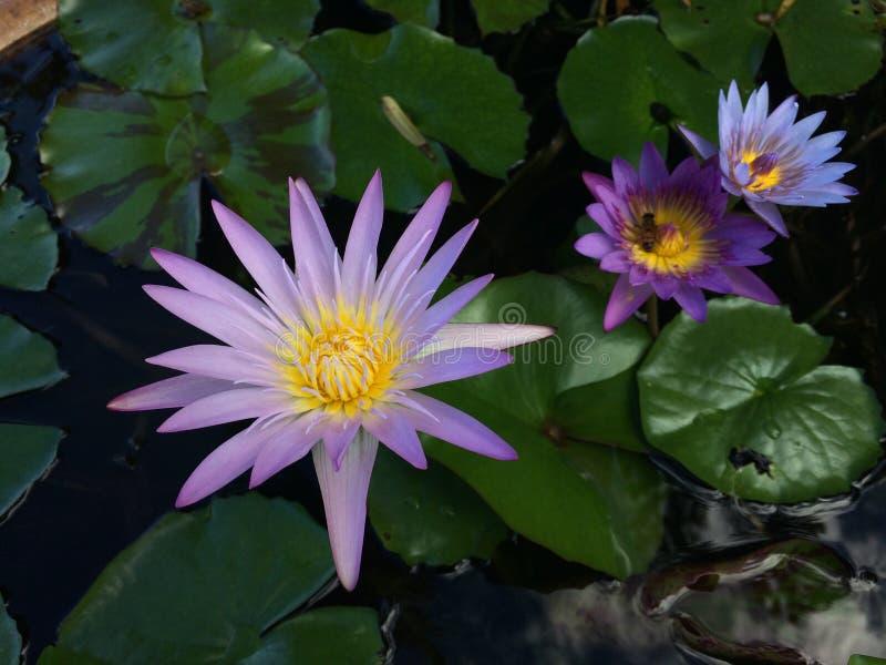 Nymphaeaceae, l'eau Lily Blossoming dans Kilauea sur l'île de Kauai, Hawaï image stock