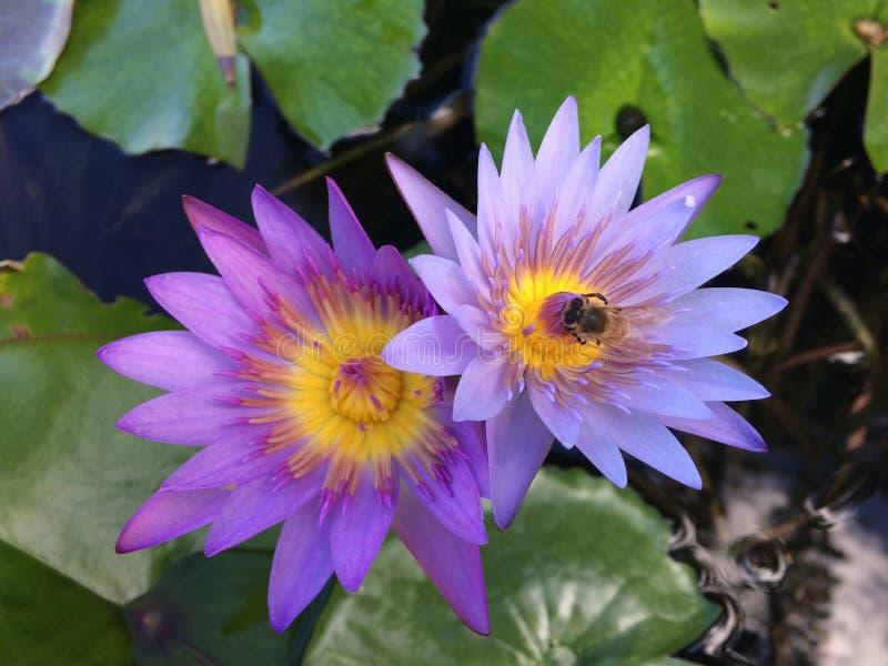 Nymphaeaceae, l'eau Lily Blossoming dans Kilauea sur l'île de Kauai, Hawaï photographie stock