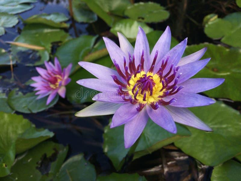 Nymphaeaceae, l'eau Lily Blossoming dans Kilauea sur l'île de Kauai, Hawaï photo libre de droits
