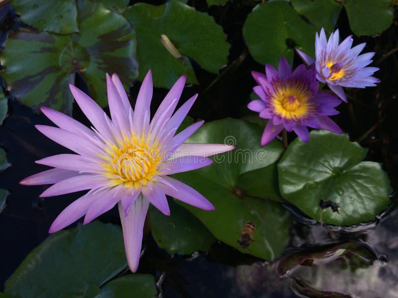 Nymphaeaceae, l'eau Lily Blossoming dans Kilauea sur l'île de Kauai, Hawaï photos libres de droits