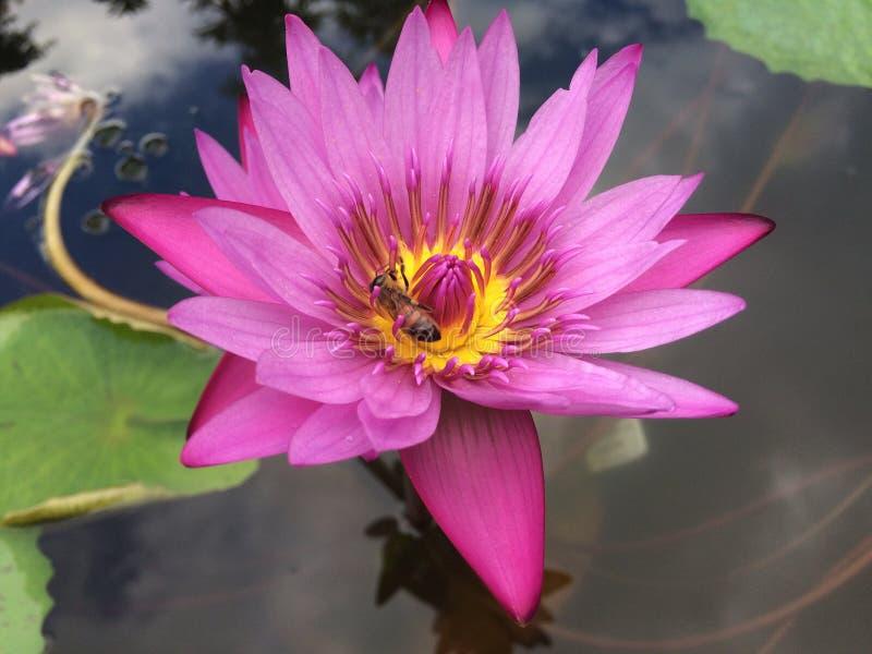 Nymphaeaceae, l'eau Lily Blossoming dans Kilauea sur l'île de Kauai, Hawaï photo stock