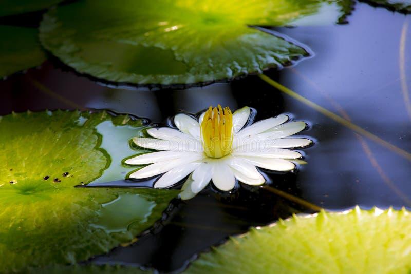 Nymphaealotusblomma, tigerlotusblomman, vitlotusblomma eller egyptiervitnäckros, är en blomningväxt av familjnymphaeaceaen arkivbilder