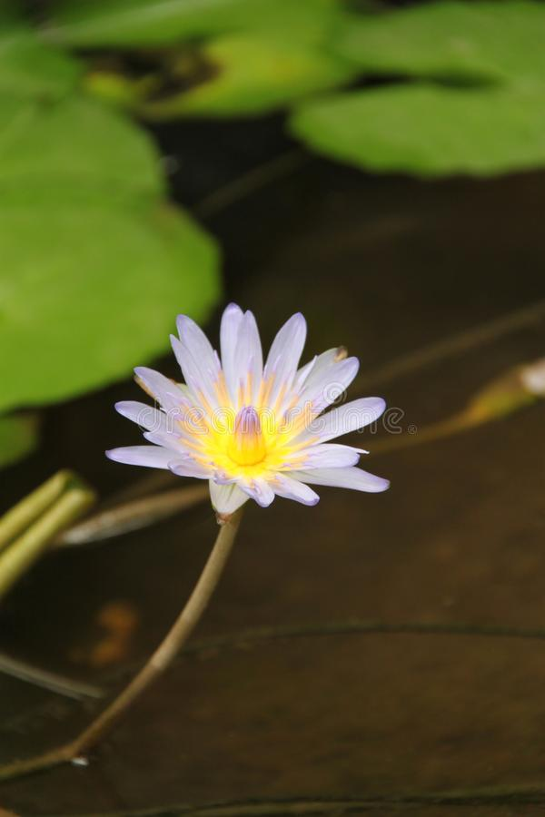 NymphaeaNouchali blomma arkivfoto