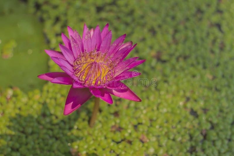 Nymphaeastellata oder -Seerose mit rosa Flossen und dem gelben Blütenstaub ist eine Wasserpflanze mit einem Untertagestamm im Kop lizenzfreie stockbilder