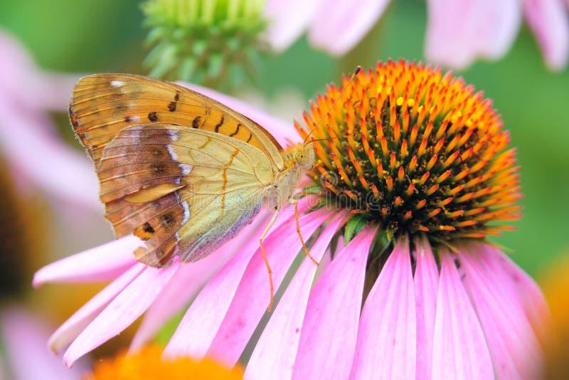 Nymphalidae stockfotografie