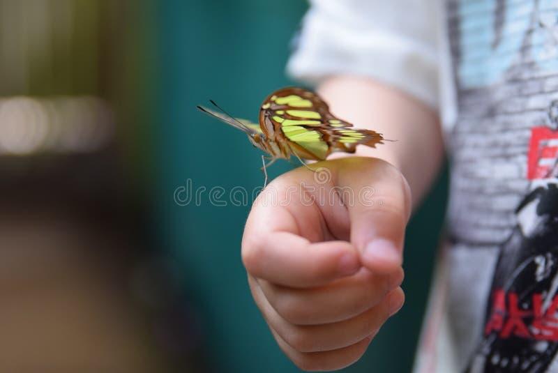 Nymphalidae ou borboleta footed de Bush imagem de stock