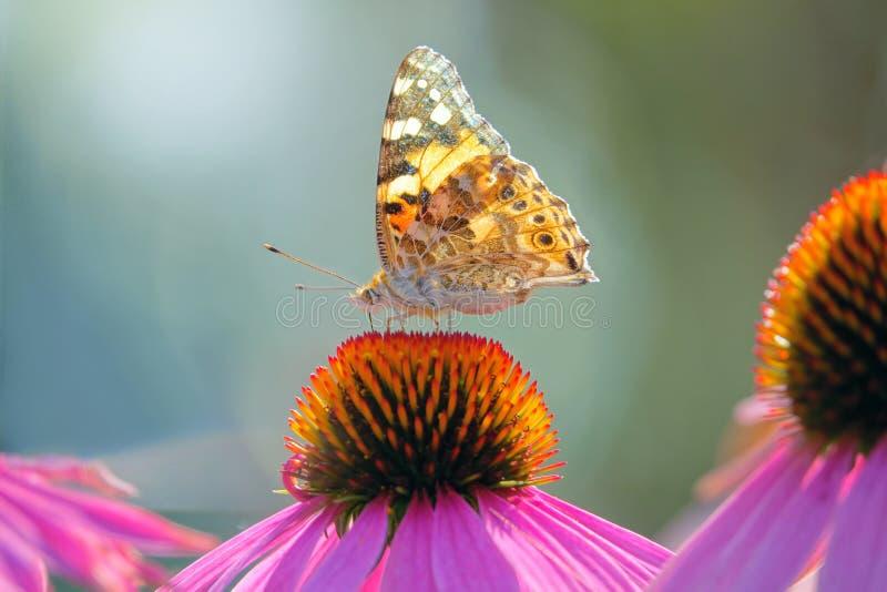 Nymphalidae-Schmetterling auf Blüte lizenzfreies stockbild