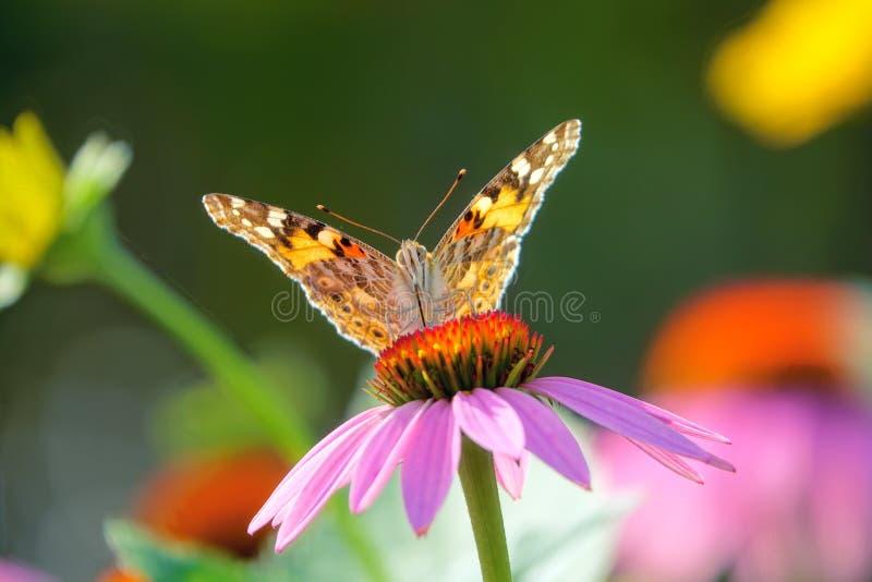 Nymphalidae-Schmetterling auf Blüte lizenzfreie stockbilder