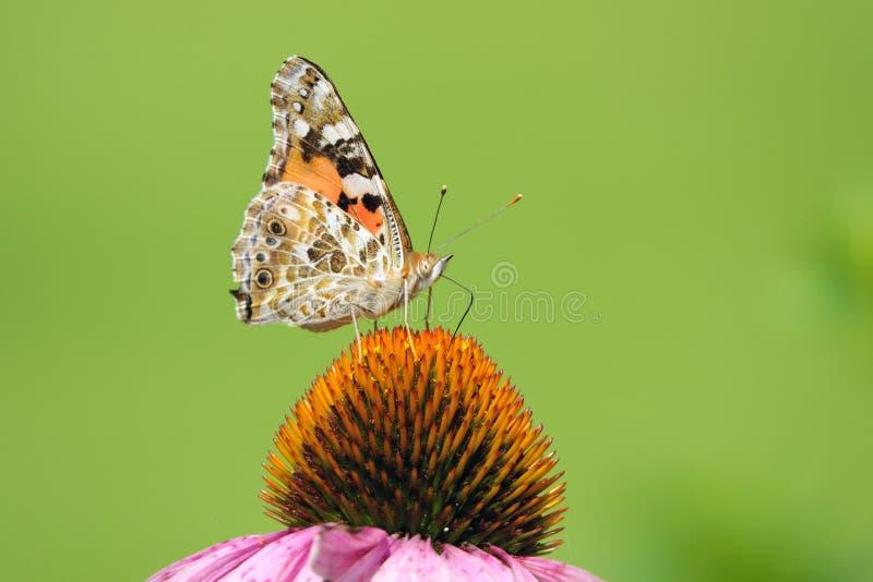 Nymphalidae-Schmetterling auf Blüte stockbilder