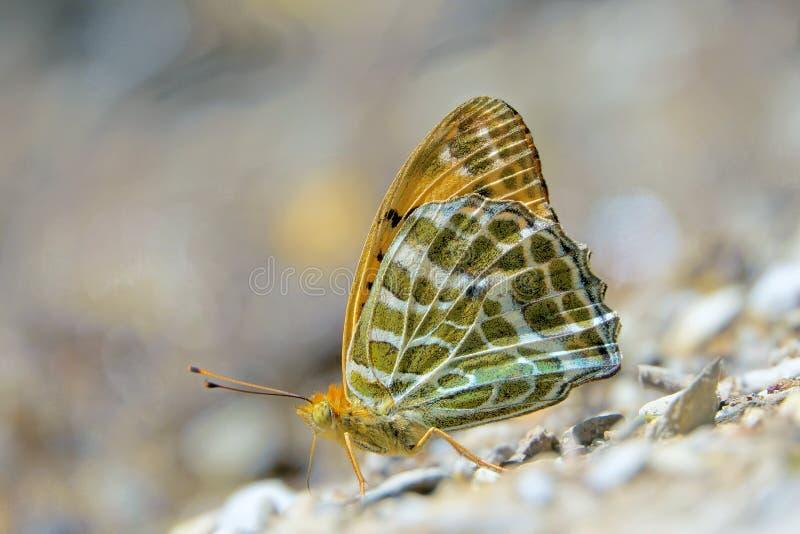 Nymphalidaeschmetterling stockfoto