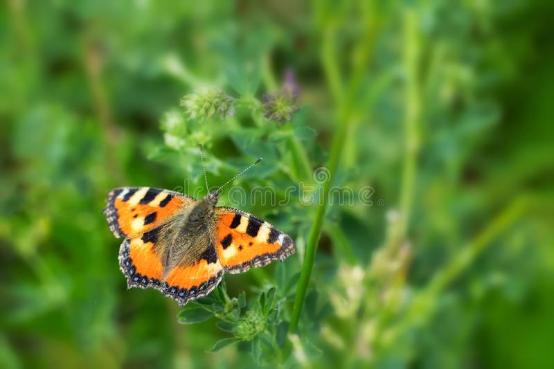 Nymphalis urticae beautiful butterfly orange black. Wild insect with bright beautiful wings. Butterfly feeds on pollen on a summer. Flowering meadow, background stock photography