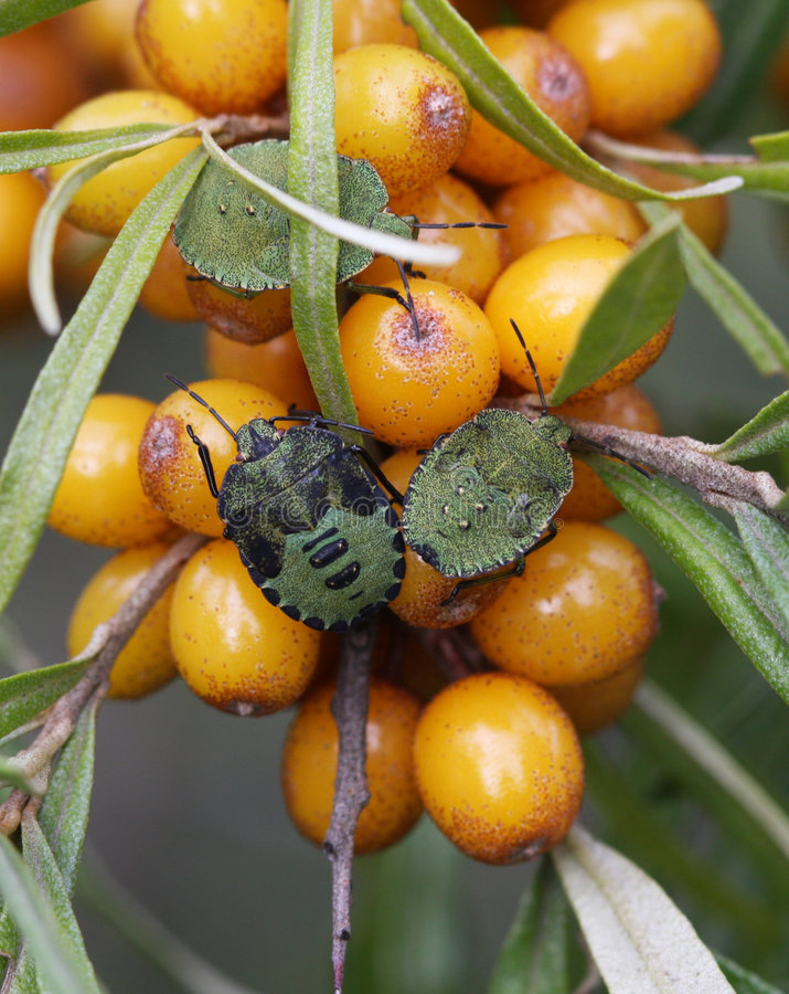 Nymphas de Pentatomidae imagem de stock royalty free