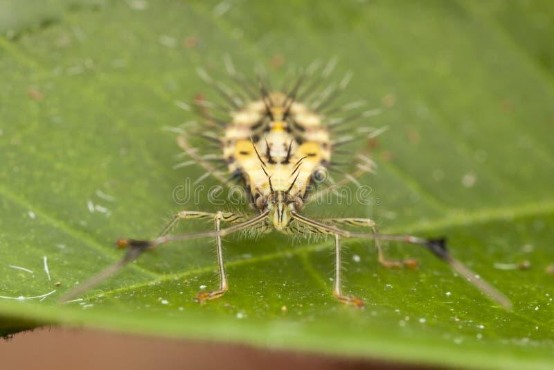 Nymphe aux pieds d'insecte de feuille en épi (stade avancé : vue de face) photos libres de droits