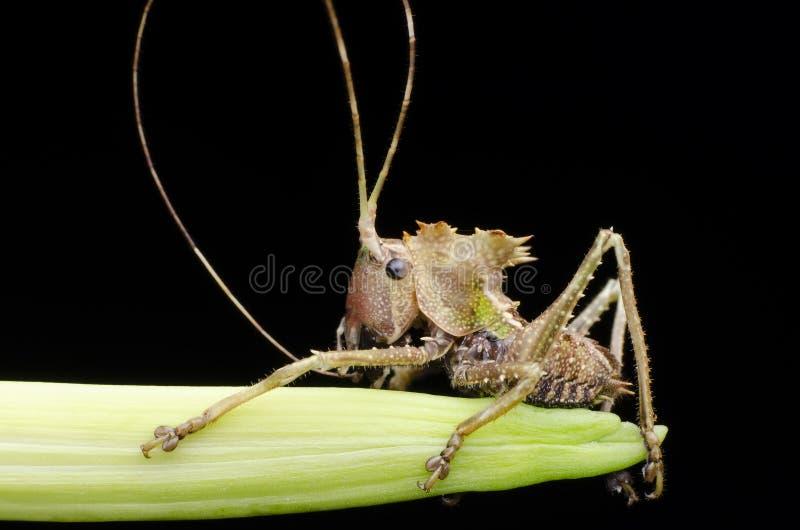 Nymphe de sauterelle dirigée par dragon trouvée en Malaisie image libre de droits