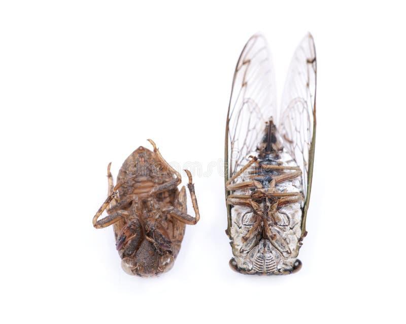 Nymphe der Insekten-Zikade Cicadoidea und der Zikade schälen exuvum Larvenlukenoberteil lizenzfreies stockfoto