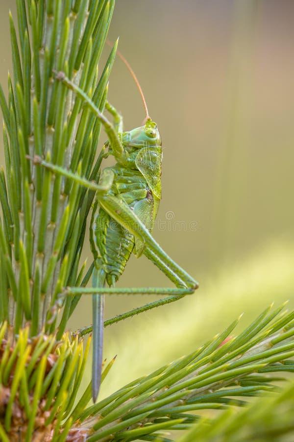 Nymphe femelle de grand cricket vert de Bush photos libres de droits