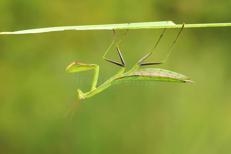 Nymphe femelle de mante photographie stock