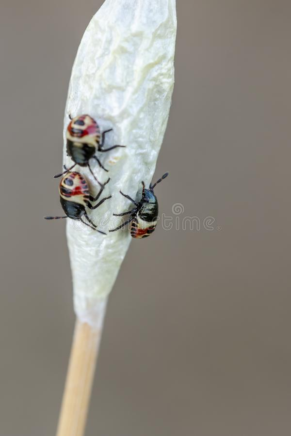 Nymps do shielbug em crisálidas da traça foto de stock