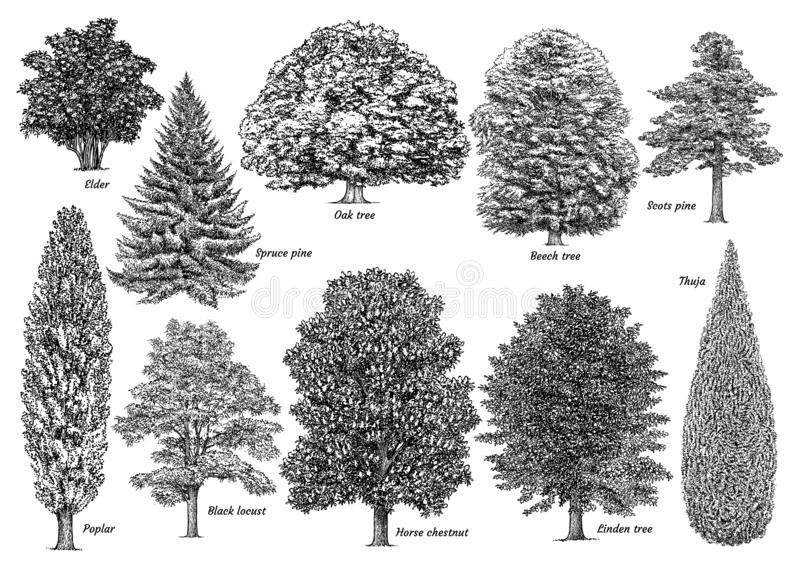 Tree collection, illustration, drawing, engraving, ink, line art, vector. Illustration, what made by ink and pencil on paper, then it was digitalized vector illustration