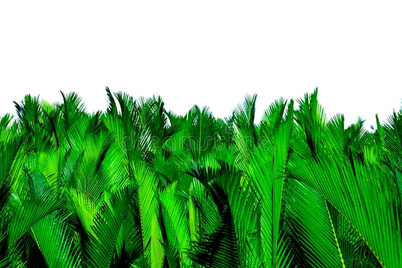 Nypa fruticans Wurmb Nypa, Atap palma, Nipa palma, Namorzynowa palma Zieleń liście odizolowywający na białym tle palma zielony li zdjęcia stock