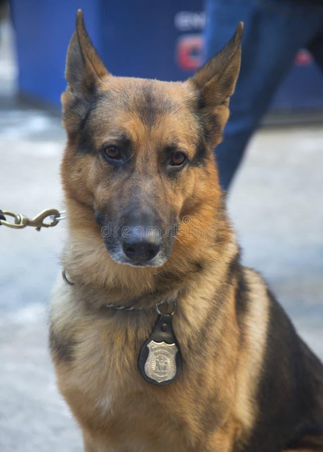 NYPD-doorgangsdienst k-9 Duitse herder die veiligheid op Broadway verstrekken tijdens de week van Super Bowl XLVIII stock foto