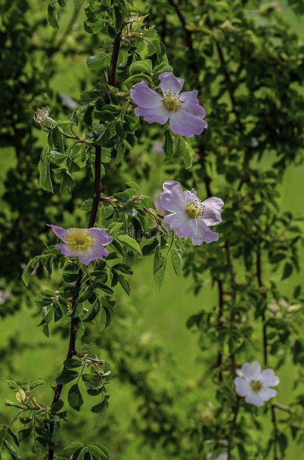 Nyponbuske i fältet fotografering för bildbyråer