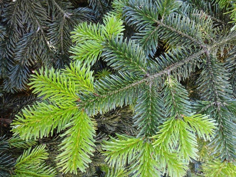 Nytt behandla som ett barn spricker ut konst för pinusmakrobakgrund i högkvalitativ tryckpinaceaefamilj royaltyfri foto