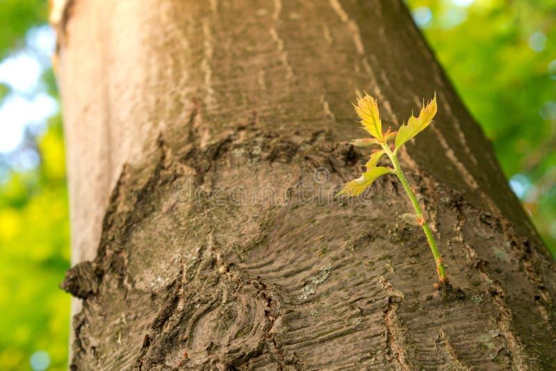 Nytt förgrena sig att växa på en Tree fjädrar in. royaltyfri foto