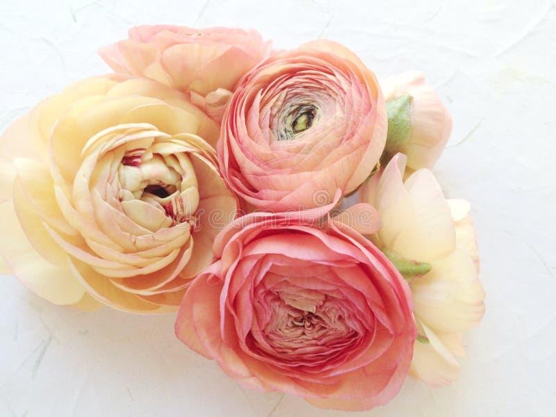 Ranunculusen i varmt skuggar royaltyfria foton