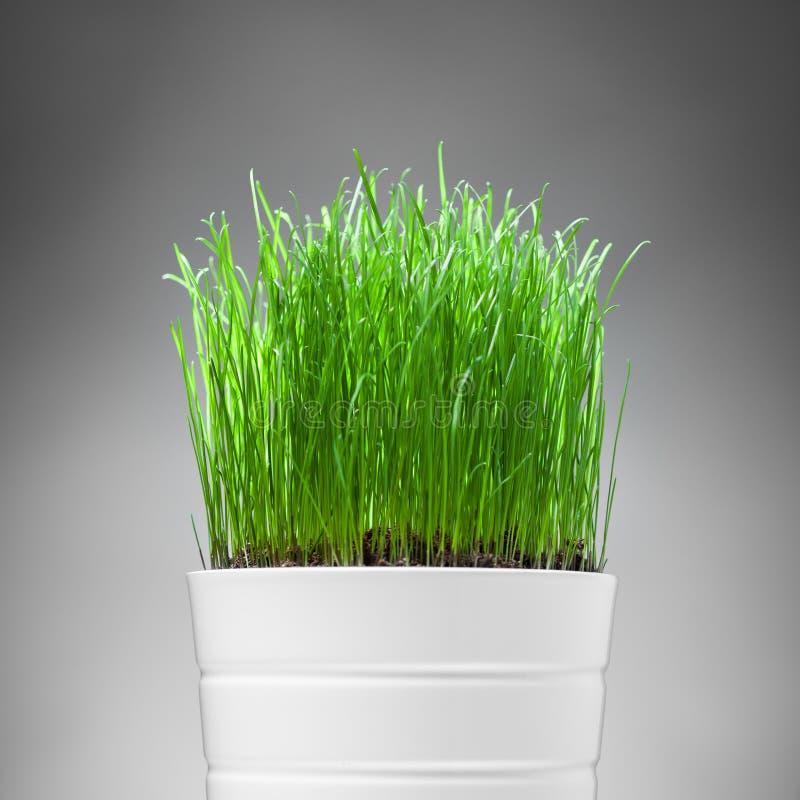 Nytt gräs i vitkruka arkivbild