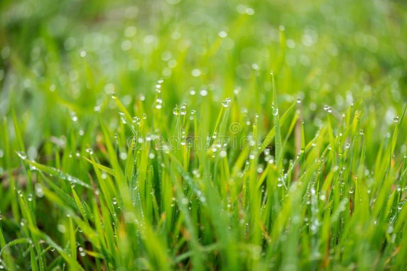 Nytt gräs med morgondaggdroppar på soluppgång arkivfoto