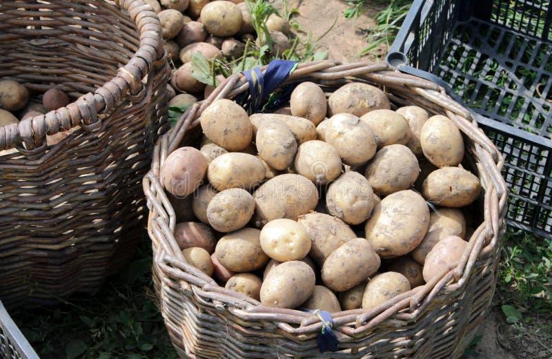 Nytt grävde potatisar in i en korg royaltyfria bilder