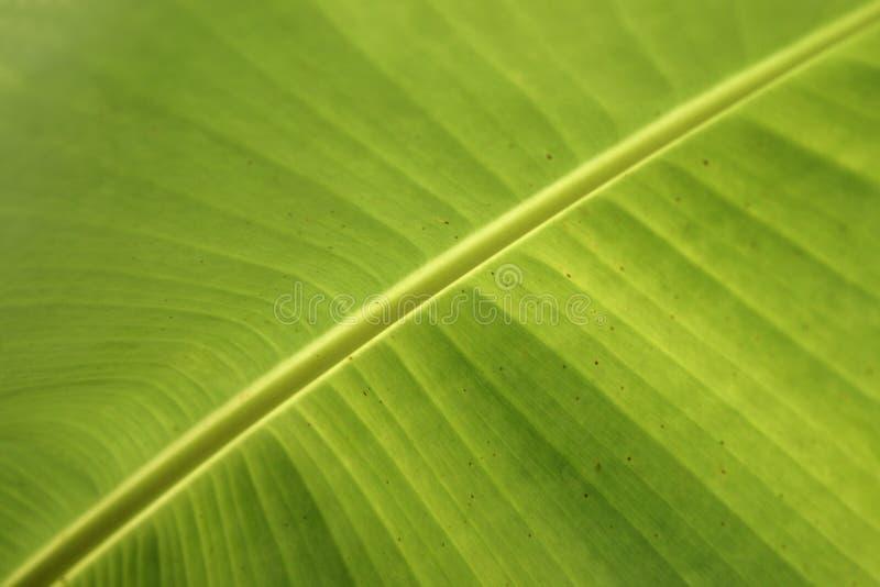 Nytt grönt bananblad för Closeup arkivfoto