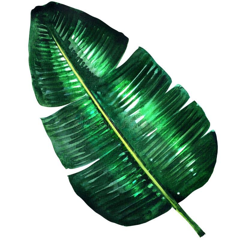 Nytt grönt bananblad, vattenfärgillustration fotografering för bildbyråer