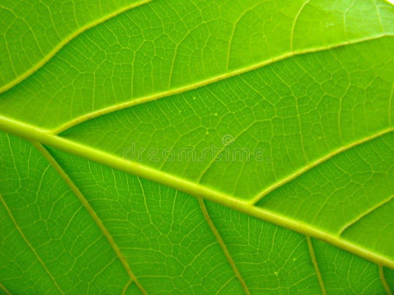 Nytt grönt blad för indisk gummiväxt i slut upp royaltyfri bild