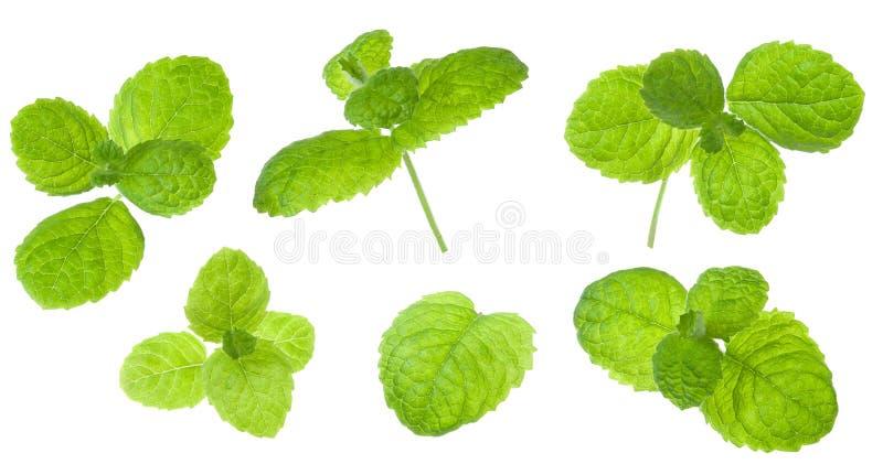 Nytt grönt blad för mintkaramell som isoleras på vit bakgrund Ställ in av delar för designpacke royaltyfria foton