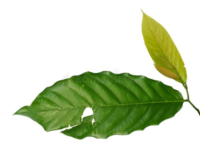 Nytt grönt blad med hål på vit bakgrund royaltyfri bild