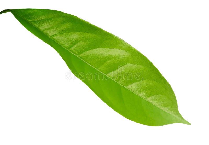 Nytt grönt blad som lägger på vit bakgrund arkivfoton