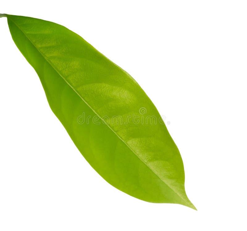 Nytt grönt blad som lägger på vit bakgrund arkivbilder
