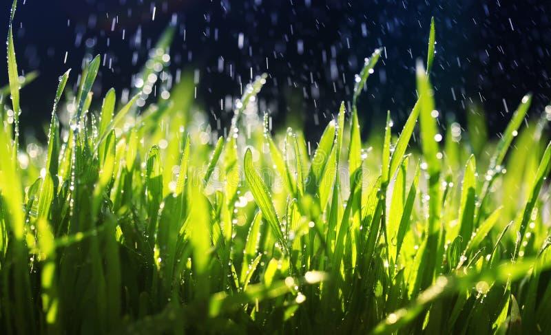 nytt grönt gräs gör dess väg i trädgården under de varma dropparna av spill av vatten på en solig dag royaltyfri foto